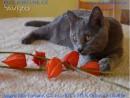 Kartouzský kocourek Jagged Blue For...
